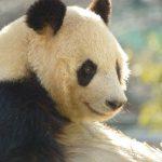 panda-original