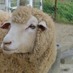sheep-original