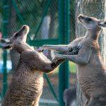 kangaroo-original