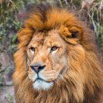 lion-original