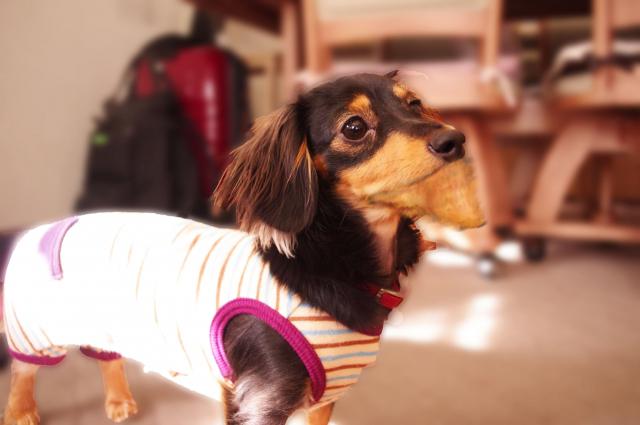 shakure-dog1