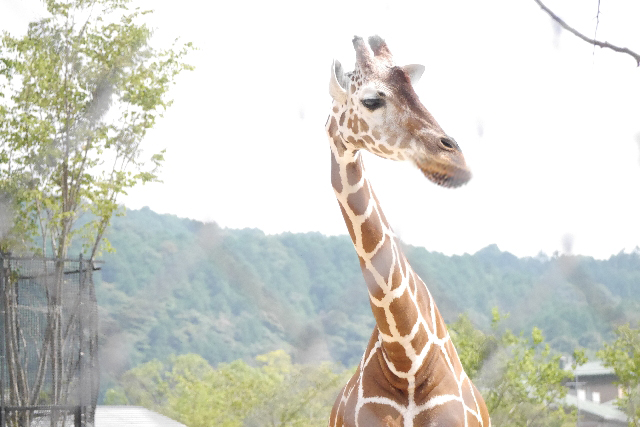 shakurel-giraffe