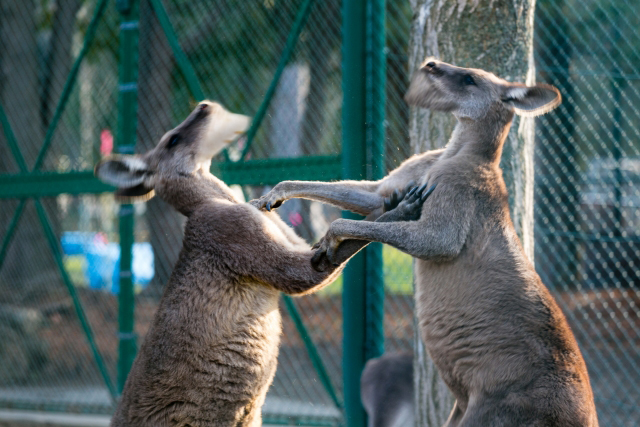 shakurel-kangaroo5