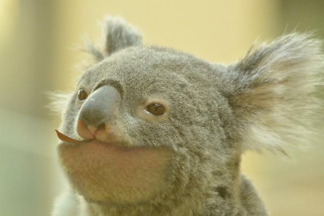 shakurel-koala1