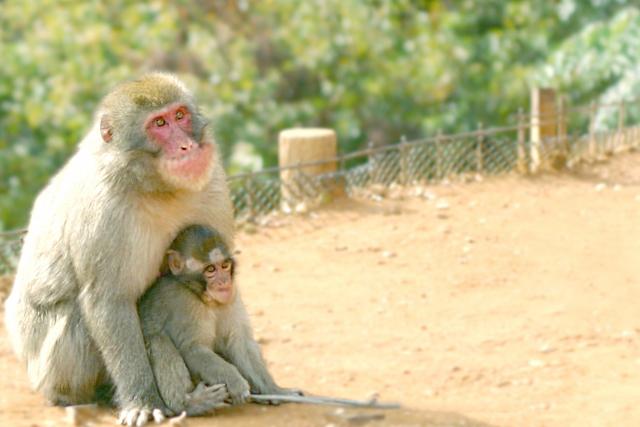 shakurel-monkey1